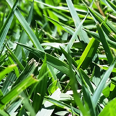 empire turf grass