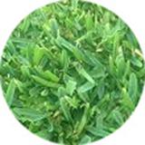 sapphire-turf-grass