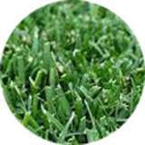 wintergreen-turf-grass